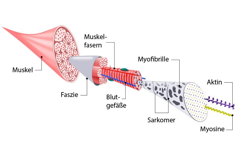 Schaubild Aufbau der Muskulatur und der Faszien